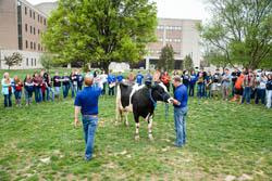 cow in front of crowd
