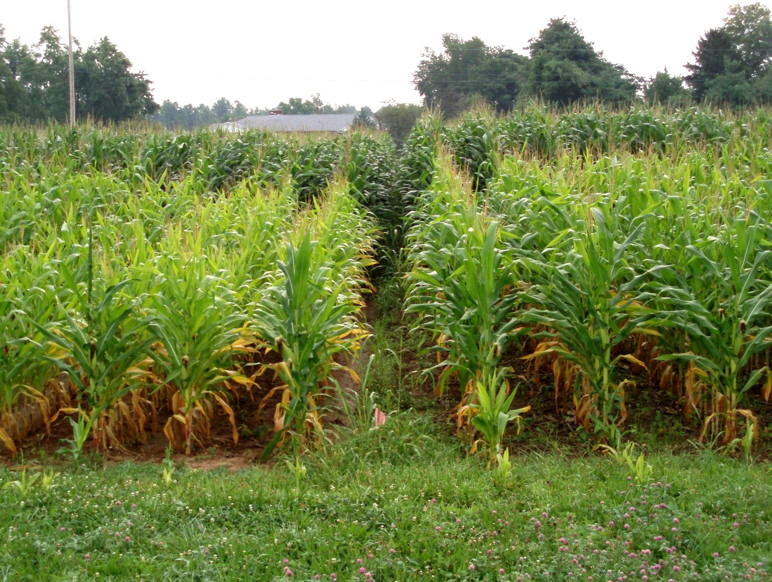 Corn growing at the Blevins research plots. Photo by John Grove, UK soil scientist.