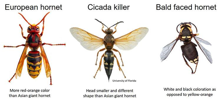 """Murder hornet"" look-a-likes that are in Kentucky include the European hornet, the cicada killer and the bald-faced hornet."