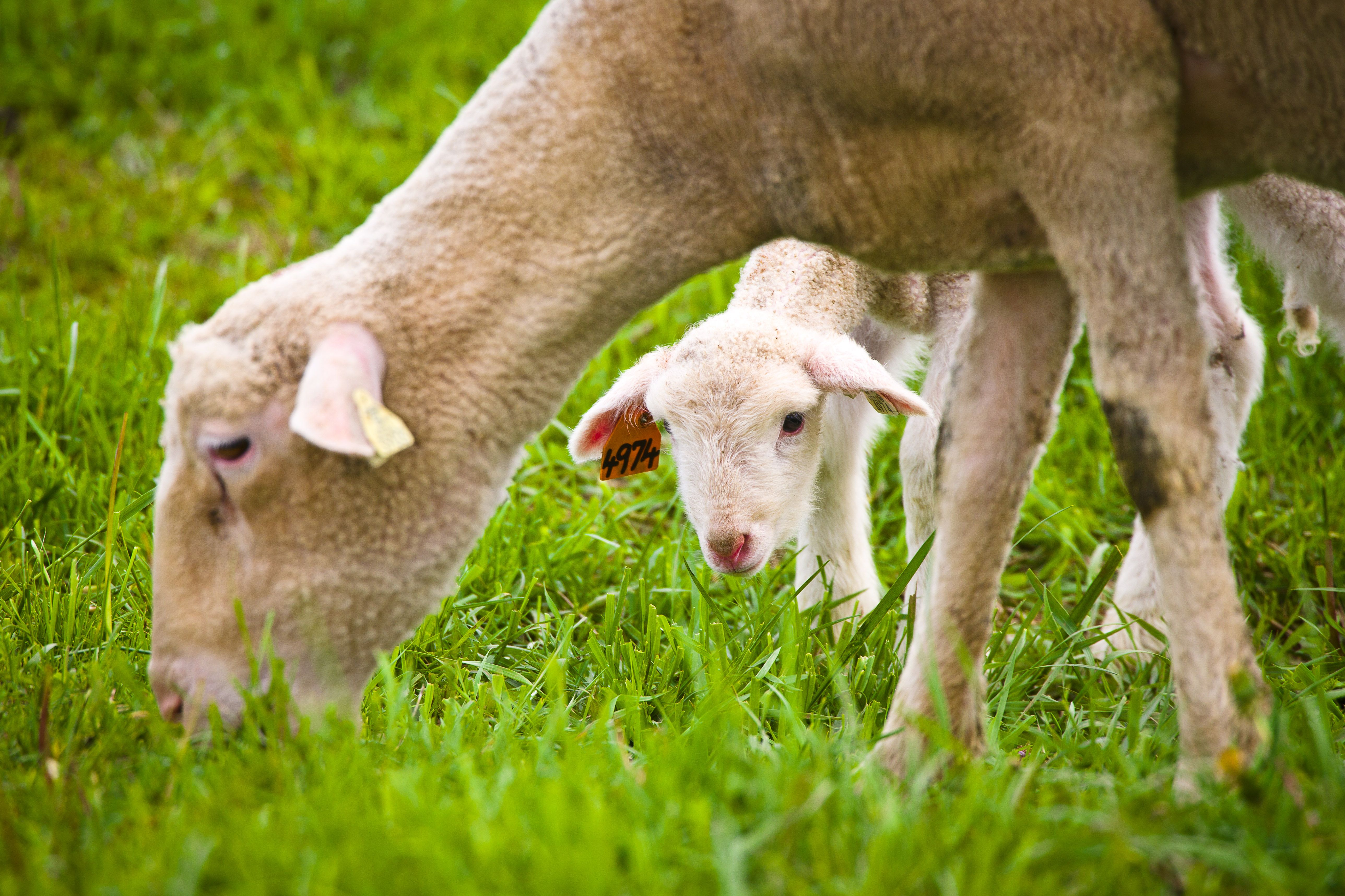 Small Ruminant Grazing Conference set for Feb. 23 in Morehead