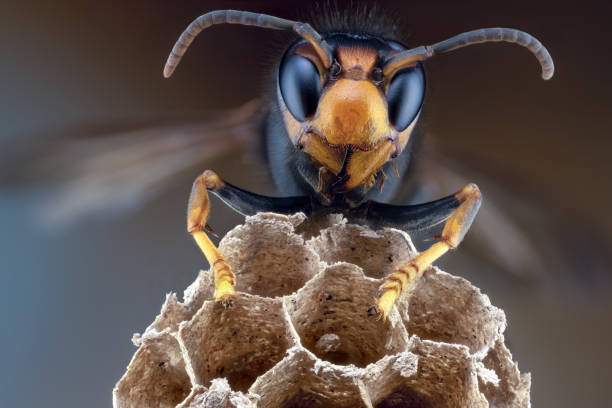 From the Ground Up - Asian giant hornet (audio)