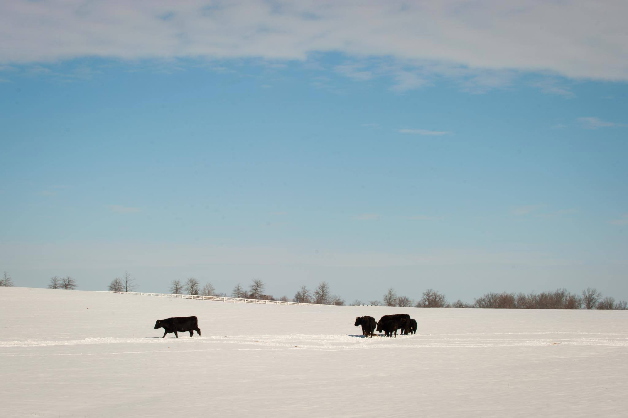 Farmers facing snow and ice storms' impact on cattle