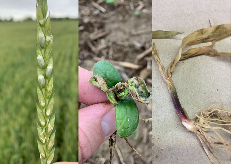 KY grain producers should scout their fields for crop damage