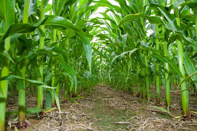 UK research project evaluating in-furrow fertilizer in corn