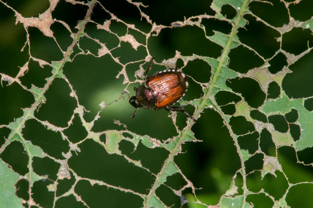 From the Ground Up - Japanese beetles (audio)