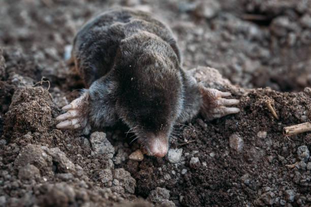 From the Ground Up - Moles in your yard (audio)