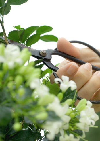 From the Ground Up - Pruning flowering shrubs (audio)