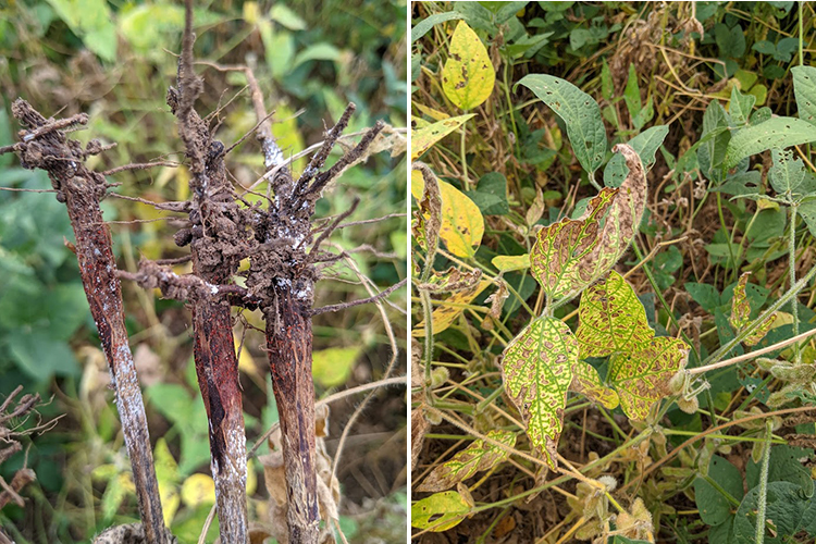 New soybean disease could impact some Kentucky yields
