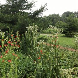 Eryngium yuccifolium, commonly called rattlesnake-master or button snake-root, and the red-blooming silene regia, commonly called royal catchfly, occur in rocky woods and prairies of Kentucky's Pennyrile region.