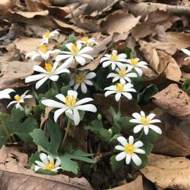 Sanguinaria canadensis, commonly called bloodroot, is a native wildflower that blooms in early spring in rich woods and along streams.