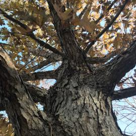 The bark of the Quercus alba, white oak. The tree can be found on the Walk Across Kentucky at The Arboretum.  Photo provided by Emily Ellingson