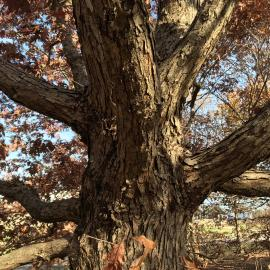 Showing the bark of Quercus bicolor, or the swamp white oak. The tree can be found on the Walk Across Kentucky at The Arboretum. Photo provided by Emily Ellingson