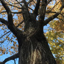 Showing the bark of Quercus rubra, the northern red oak.  The tree can be found on the Walk Across Kentucky at The Arboretum. Photo provided by Emily Ellingson