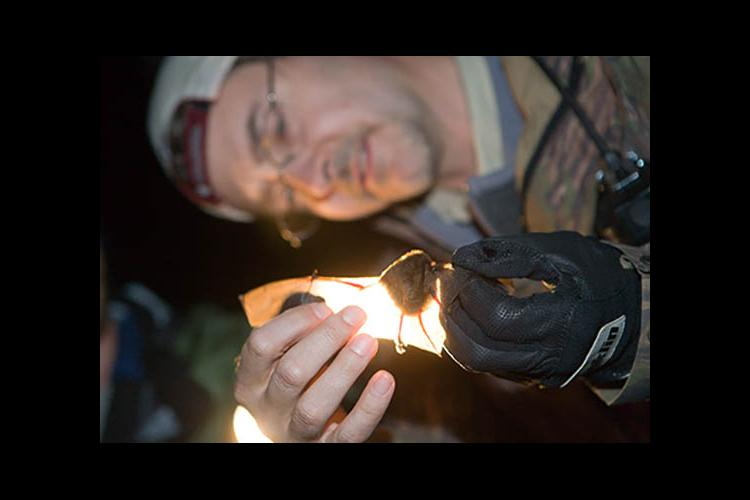 Professor Mike Lacki examines a bat in Robinson Forest during a 2006 study..