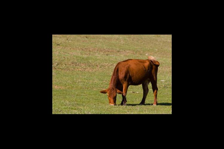 Cow grazing