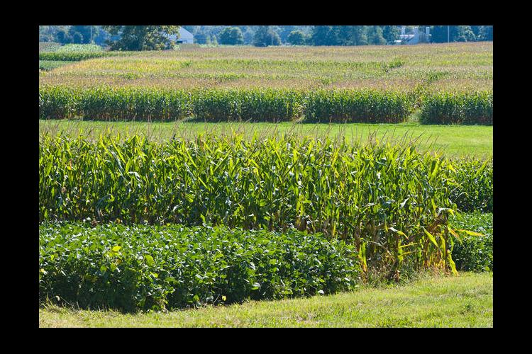 Corn, Soybean and Tobacco Field