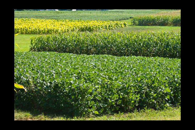 UK research plots of soybeans, corn and tobacco.