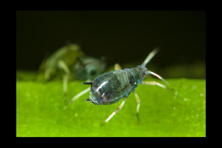 cowpea aphid