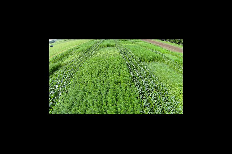 An aerial view of the UK natural fiber production trial that is comparing hemp varieties to kenaf and flax.