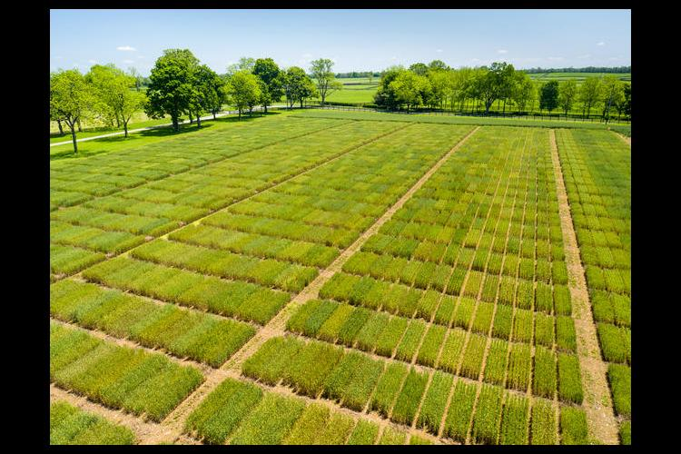 Aerial photo of the 2016 UK wheat research plots