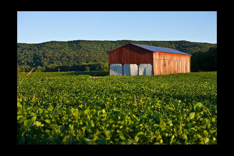 Soybeans and red barn