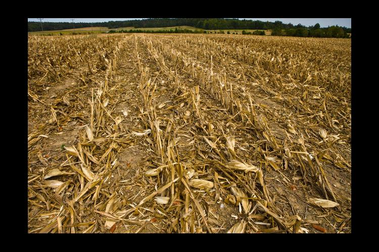 Many Kentucky farmers are already beginning their 2014 crop by planting wheat into recently harvested corn fields.