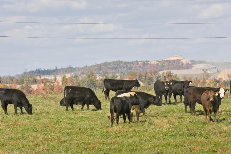Cattle graze on reclaimed mine land in Perry County.