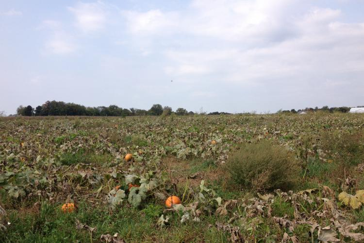 A pumpkin field infected with downy mildew.