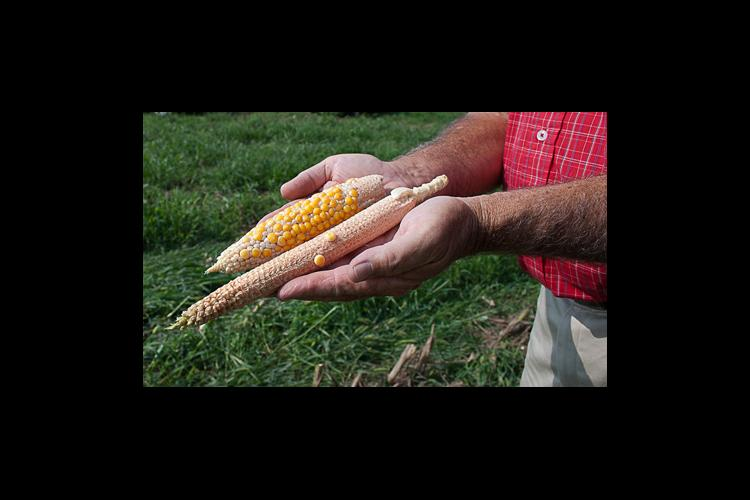 Examples of poor corn pollination