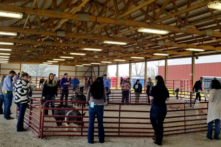 Students studied sheep, swine and cattle in categories including market animal evaluation, animal selection, livestock judging and oral reasoning.