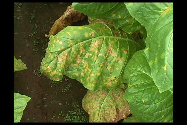 A leaf infected with blue mold