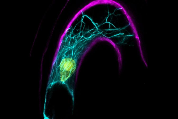 A confocal microscope image of the Arabidopsis female cell including the nucleus in yellow and intracellular cables which help with sperm nucleus migration upon fertilization. The cell wall is pictured in magenta. Photo courtesy of Tomokazu Kawashima.