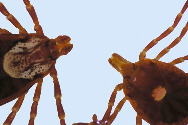 The picture shows the distinct differences between the American dog tick, left, and the lone star tick. Notice the American dog tick has short mouth parts and mottled markings while the lone star tick has long mouthparts and a white spot on its back.