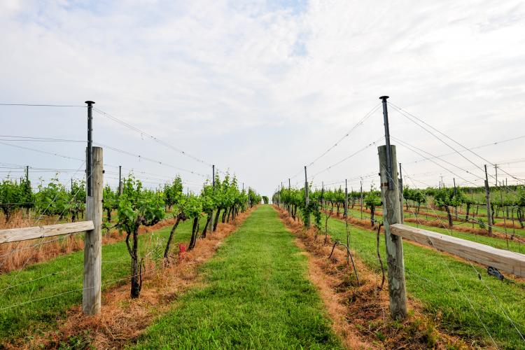 Vinifera damage after harsh winter