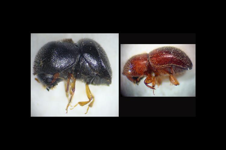 The camphor shot borer and granualte ambrosia beetles are two insects that could cause problems for nursery growers.