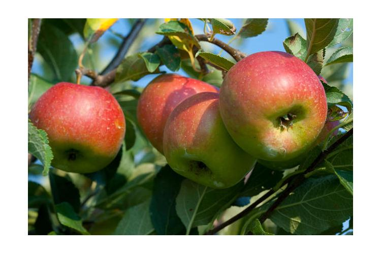 UK researchers are working to develop ways to keep healthy U.S. apples, like these,  in the supply chain. Photo by Steve Patton, UK agricultural communications.