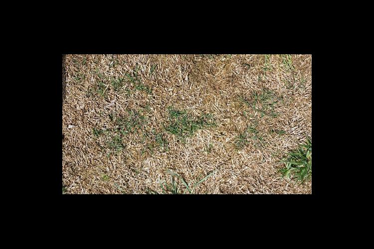 Thin bermudagrass can recover if there is at least one live plant per square foot.