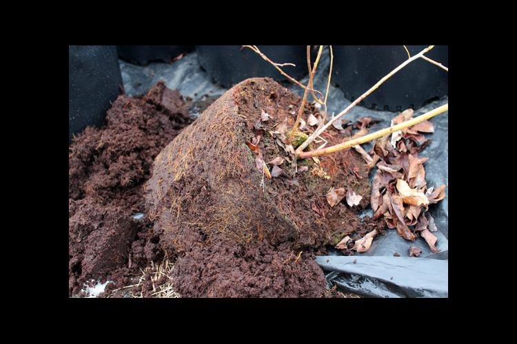 During advanced stages of blueberry root rot, roots are severely decayed and the plant is completely defoliated.