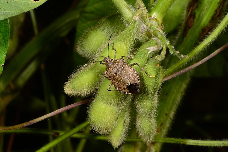 A brown marmorated stinkbug on soybeans. Photo by Ric Bessin, UK extension entomologist.