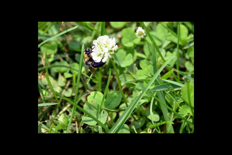 A bumble bee on white clover