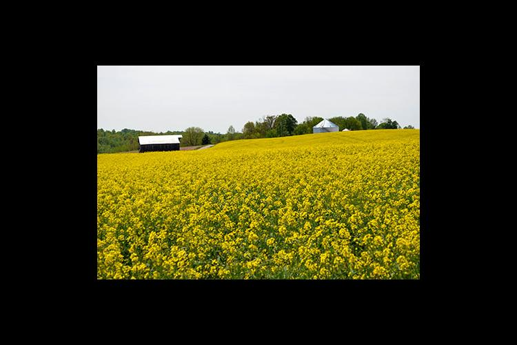 A canola field bursts with color in Austin.