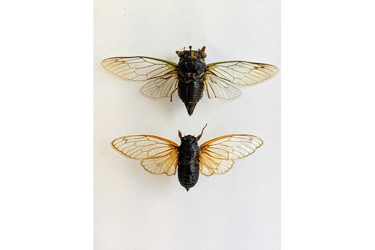 A comparison of the annual cicada (top) and periodical cicada. The periodical cicadas are the ones coming to Kentucky this spring. Photo by Jonathan Larson.