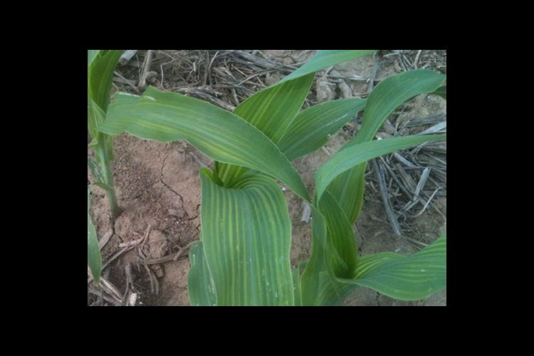 Leaves of some of the corn crop were stripping in late May as pictured here, but they have quickly improved.