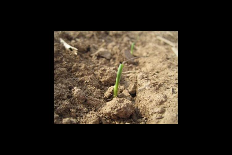 Young corn seedling