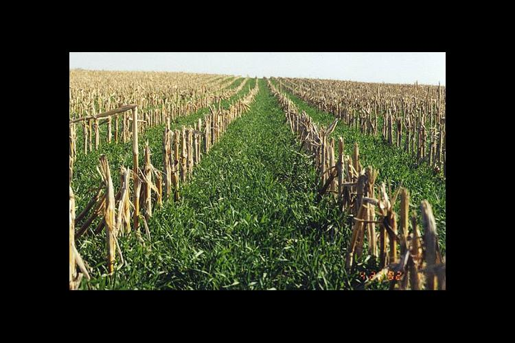 Young cereal rye emerges in the fall between rows of corn stubble. Cereal rye is one of the most common cover crops.