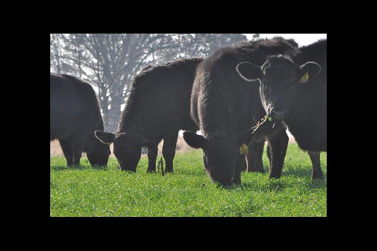 A study conducted by Roy Burris and Edwin Ritchey is looking at the effects of grazing cattle on wheat in the winter.