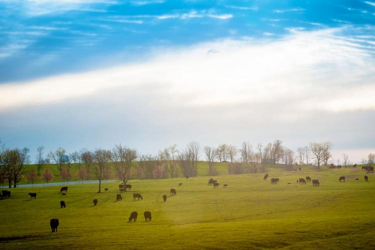 cows, pasture, Kentucky, angus, cattle