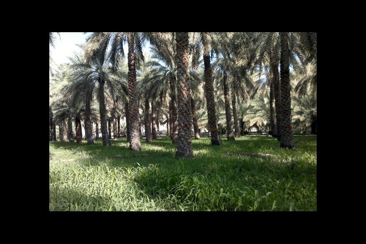A date palm plantation with grasses below. The grasses may potentially aid in biological control of the dubas bug.