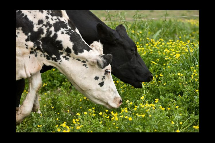 Two cows grazing