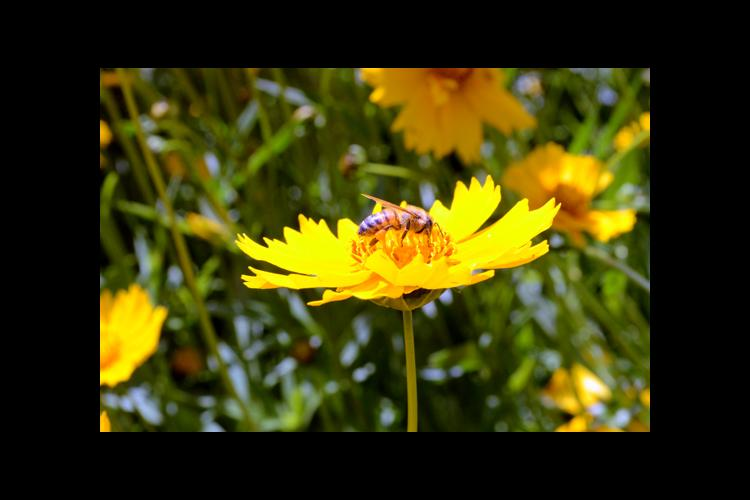A honey bee on a lanceleaf coreopsis at UK's Spindletop Research Farm.